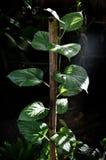 Raspberry tree Stock Image