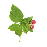 Raspberry twig Royalty Free Stock Photography