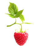Raspberry twig with ripe berry isolated Royalty Free Stock Photography
