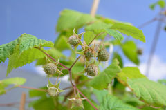 Raspberry unripe Royalty Free Stock Image