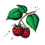 Raspberry vector drawing. Isolated berry branch sketch on white Vector Illustration