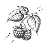 Raspberry vector drawing. Isolated berry branch sketch on white. Background. Summer fruit engraved style illustration. Detailed hand drawn vegetarian food royalty free illustration