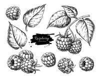 Raspberry vector drawing. Isolated berry branch sketch on white. Background. Summer fruit engraved style illustration. Detailed hand drawn vegetarian food vector illustration