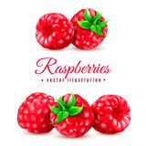 Raspberry vector illustartion Royalty Free Stock Photos