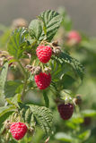 Raspberry on the Vine stock images