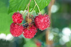 Raspberry with water drops Royalty Free Stock Image
