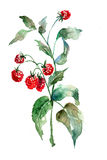 Raspberry, watercolor illustration Stock Photo