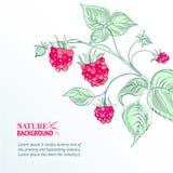 Raspberry, watercolor. Royalty Free Stock Photo
