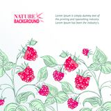 Raspberry, watercolor. Royalty Free Stock Images