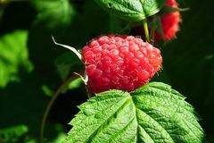 Raspberry, West Indian Raspberry, Berry, Tayberry royalty free stock photography