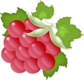 Raspberry on the white Stock Photos