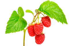 Raspberry on white background. Bunch of a red raspberry isolated on white background Royalty Free Stock Images
