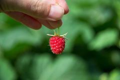 Raspberry on woman hand. Fresh raspberry on woman hand in summer Stock Photo