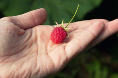 Raspberry on woman hand Royalty Free Stock Photography