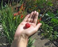 Raspberry on woman's palm. Big appetizing raspberry on woman's palm Royalty Free Stock Photography