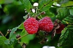 Raspberries. Close-up on colorful fresh raspberries stock image