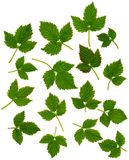 RaspberryLeaves Stock Foto's
