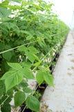 Framboesa crescente na plantação hidropónica fotos de stock