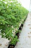 Framboesa crescente na plantação hidropónica imagem de stock royalty free