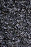 Raspe la textura del árbol conífero vivo largo en la tierra, Rocky Mountain Bristlecone Pine Pinus Aristata Foto de archivo