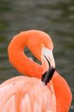 Raspel-Flamingo lizenzfreie stockbilder