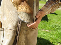 Rasping a Horseshoe and Hoof Royalty Free Stock Photo