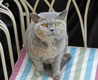 Rasren brittisk chaise för shorthairkattstående arkivbild