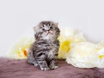 Rasren fluffig liten skotte Stående av lite kattungen bland blommor arkivbilder