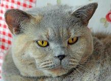Rasren framsida av katten royaltyfria bilder