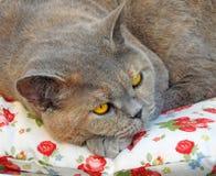Rasrent vila för katt Royaltyfri Bild