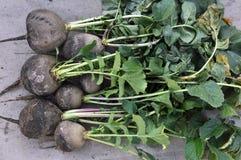 Rassemblé du radis noir moulu d'hiver image stock