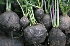 Rassemblé du radis noir moulu d'hiver photo libre de droits