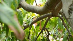 Rassemblant le fruit de mangue accrochant dans l'arbre manuellement dans une plantation banque de vidéos