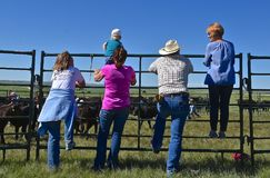 Rassemblement de bétail et marquage à chaud sur un ranch Photographie stock libre de droits