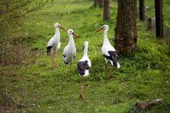 Rassemblement de cigogne blanche Photographie stock libre de droits