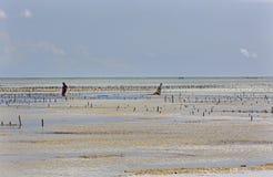 Rassemblement de l'algue, plage d'Uroa, Zanzibar, Tanzanie Photos stock