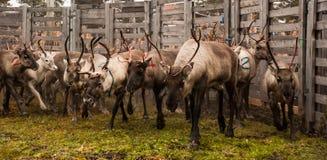 Rassemblement de renne image stock
