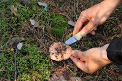 Rassemblement des champignons de couche Photographie stock