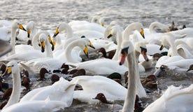 Rassemblement des cygnes de bewick émigré et alimentant sur un lac Photographie stock