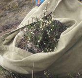 Rassemblement des herbes médicinales dans la toundra Image libre de droits