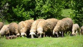 Rassemblement des moutons en montagnes banque de vidéos