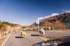 Rassemblement des moutons sur la route Image stock