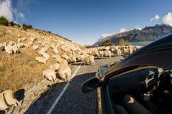 Rassemblement des moutons sur la route Photos libres de droits