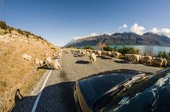 Rassemblement des moutons sur la route Photos stock