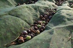Rassemblement des olives avec un filet Image stock