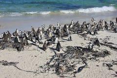 Rassemblement des pingouins africains Photos stock
