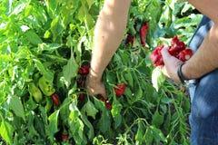 Rassemblement des poivrons Photo stock