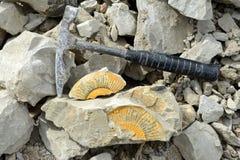 Rassemblement du fossile d'ammonite Images stock