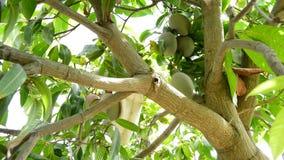 Rassemblement du fruit de mangue accrochant dans l'arbre avec le poteau clips vidéos