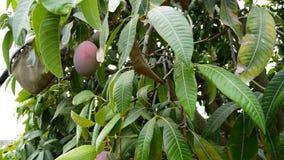 Rassemblement du fruit de mangue accrochant dans l'arbre avec le poteau dans une plantation banque de vidéos